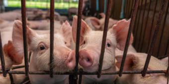 Investimento em porcos opção promissora de negócio