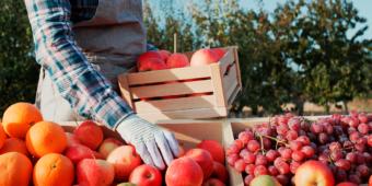 Pessoa finalizando a colheita de algumas frutas, como: maçã, laranja e uva.
