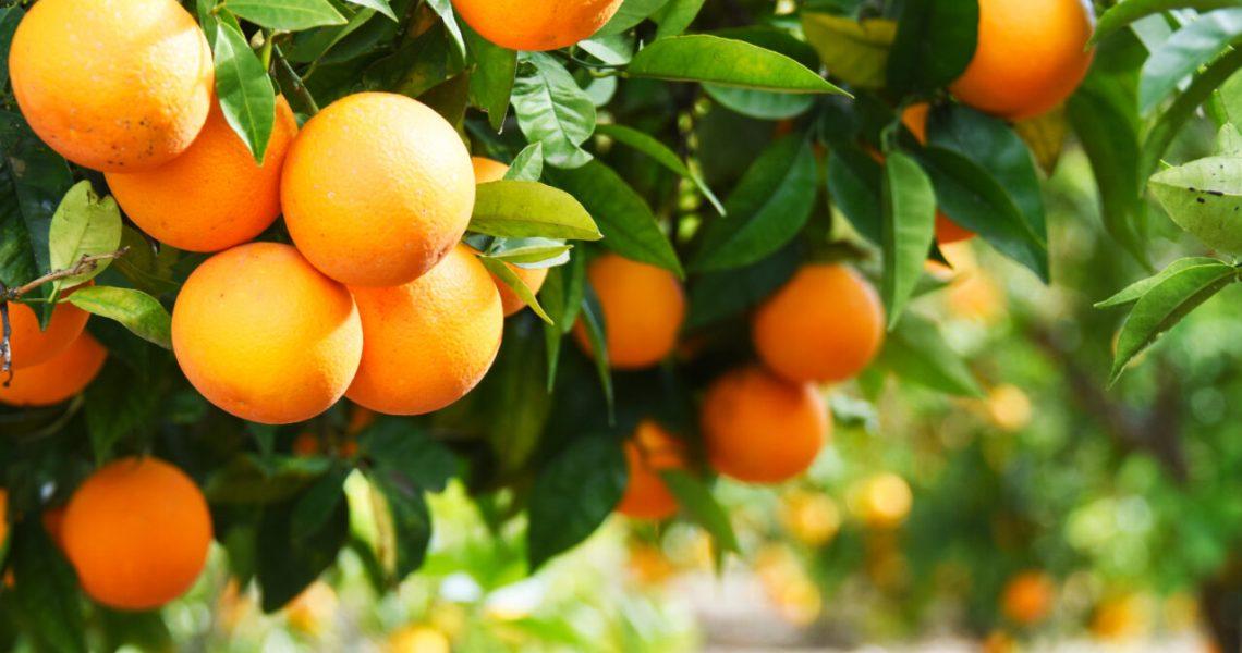 Alto-consumo-e-procura-pelo-produto-fazem-da-laranja-um-bom-negócio-Blog-Buscar-Rural